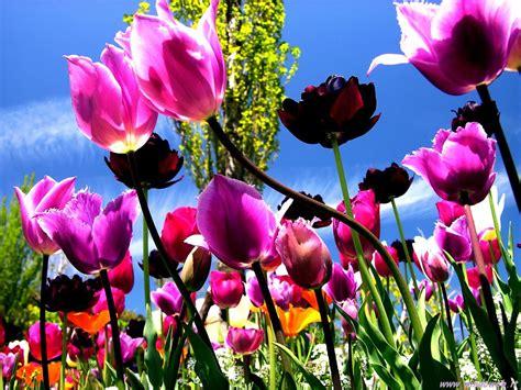 immagini di fiori per desktop foto tulipani per sfondi desktop chainimage