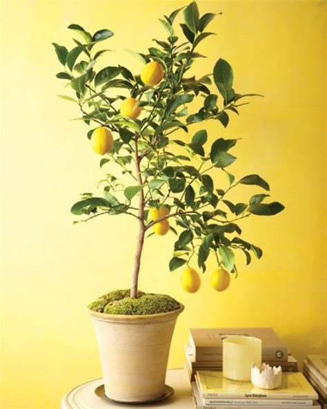 indoor fruit plants how to plant and keep an indoor lemon tree eat 2 be healthy