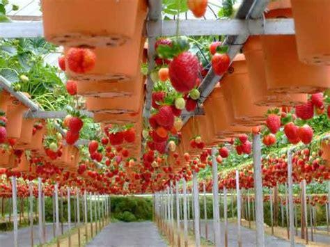 Pupuk Untuk Bunga Lada cara menanam strawberry hidroponik bibitbunga