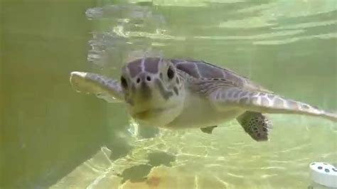 Cute Sea Turtles   www.pixshark.com   Images Galleries