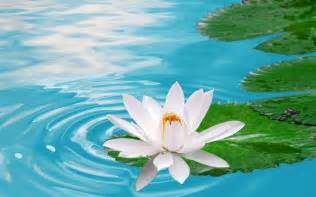 Lotus In The Water White Lotus Flower Wallpaper