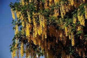 Small Summer Flowering Shrubs - golden raintree for sale online the tree center