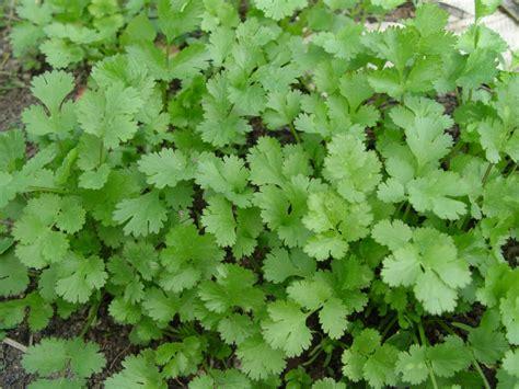 coriander cilantro cilantro school garden weekly