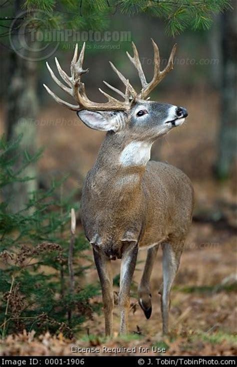 Buck S 60ml big deer bucks www imgkid the image kid has it