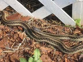 Garden Snake Nc Girlshopes