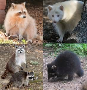 what color are raccoons raccoon colour variation q reptile forums