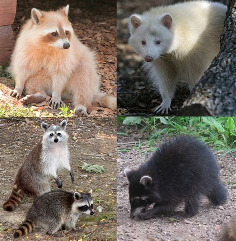raccoon colour variation q reptile forums