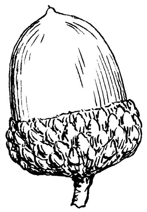 Acorn Coloring Page Acorn Clip Art Free Cliparts Co by Acorn Coloring Page