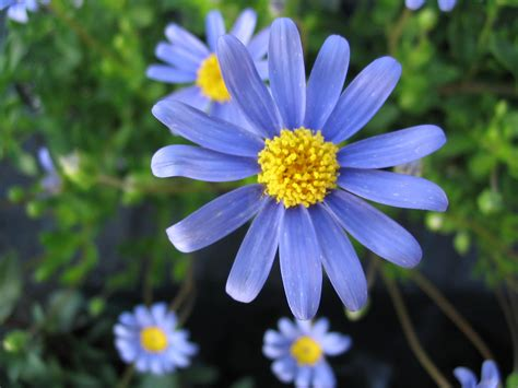 Potted Plants by Blue Marguerite Daisy Hello Hello Plants Amp Garden Supplies