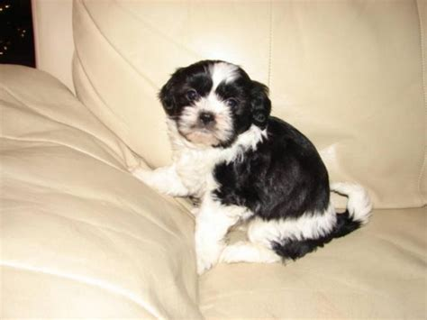 puppies for sale ontario shih tzu puppies shih tzu puppies for sale in marmora