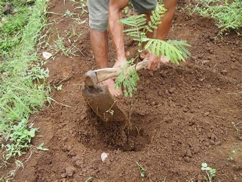 Bibit Kayu Sengon cara menanam sengon yang baik dan benar bibitbunga