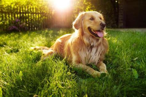 cani tranquilli da appartamento i migliori cani da appartamento