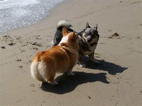 swedish vallhund puppies blaze solborg swedish vallhunds