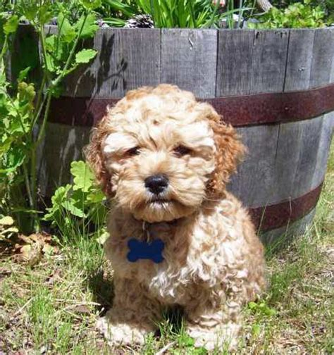 Cockapoo Shedding by Do Cockapoos Shed Image Search Results