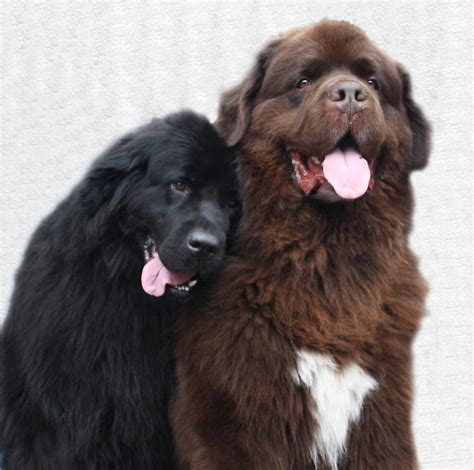Sell Home Decor Products by Quot Two Newfoundland Dogs In Love Quot By Meganboundy Redbubble