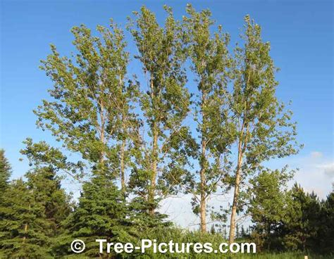 popular trees poplar tree lots of pictures images photos facts