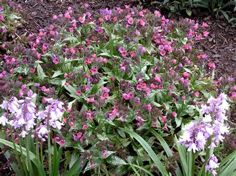 buy lungwort silver bouquet pulmonaria silver bouquet pbr delivery by waitrose garden in