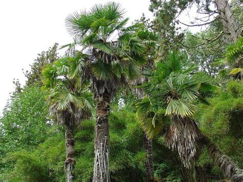 tipi di palme da giardino palma di fortune alberi trachycarpus o palma di fortune