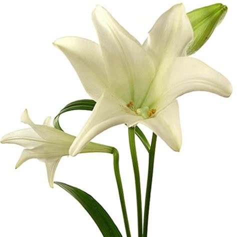 imagenes de lilis blancas enviar azucenas blancas longiflorun en ramo floresfrescas