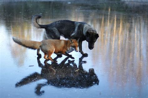 do golden retrievers any predators 23 animal friendships that are absolutely adorable