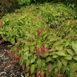 Perennial Foliage Plants - epimedium rubrum bishops hat information pictures amp cultivation tips