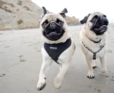 running of the pugs 17 best images about i pugs on pugs pug and brindle pug