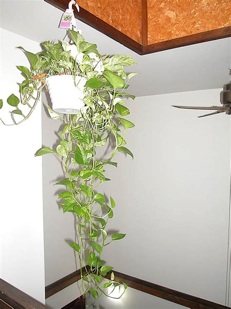 indoor vine plant indoor plants that purify air in living spaces