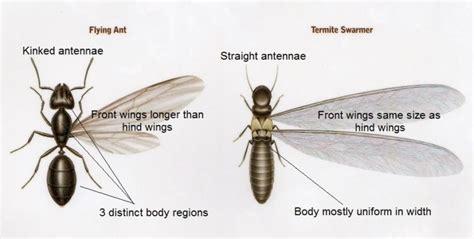 flying ant  termite identify   termite  ant