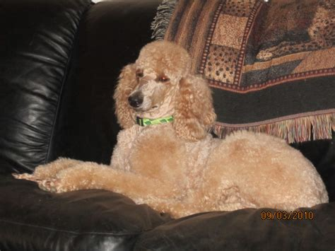 puppies for sale jackson tn standard poodle puppies jackson tn dogs our friends photo