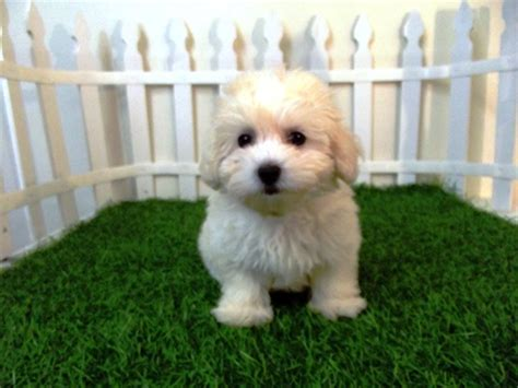 san diego puppies for sale maltipoo puppies for sale san diego 1 san diego puppy