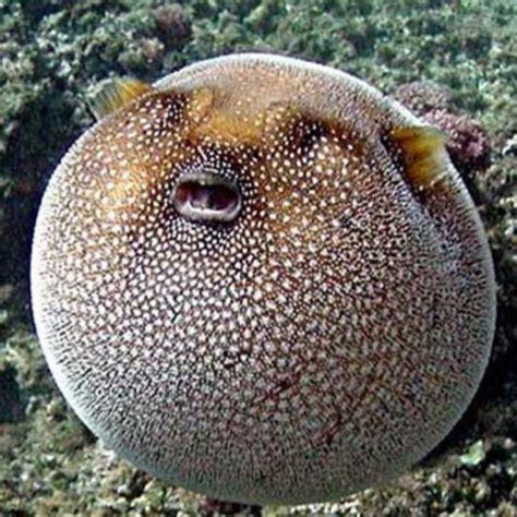 pesce palla cucina pesce palla fugu buono da morire la cucina di claudio