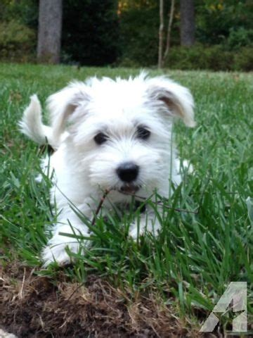 havanese puppies for sale in virginia havanese x schnauzer mix the cutest sweetest puppies for sale in middletown