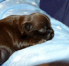 puppy pleasers rescue mi ki puppy solid black coat welcome to miki puppies heaven