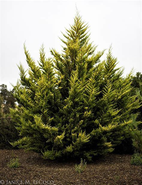 cupressus macrocarpa citriodora photo galleries