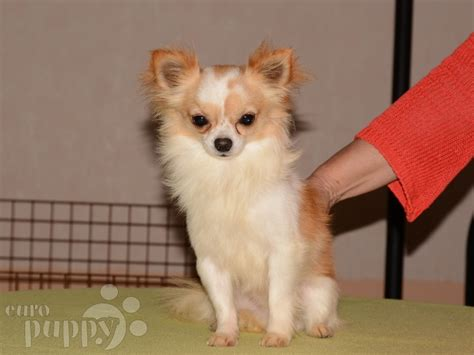 beverly puppies beverly chihuahua chihuahua puppy for sale puppy