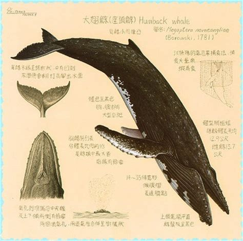 diagram of a humpback whale diagram of humpback whale whales