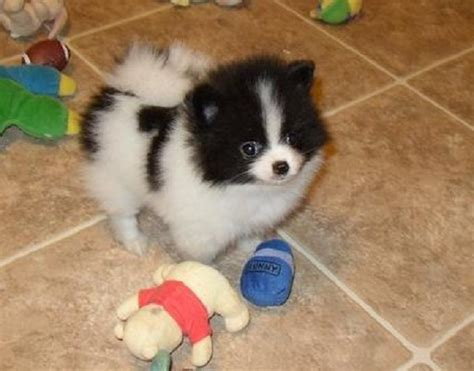 black and brown pomeranian puppies for sale black and white pomeranian puppies for sale zoe fans baby animals