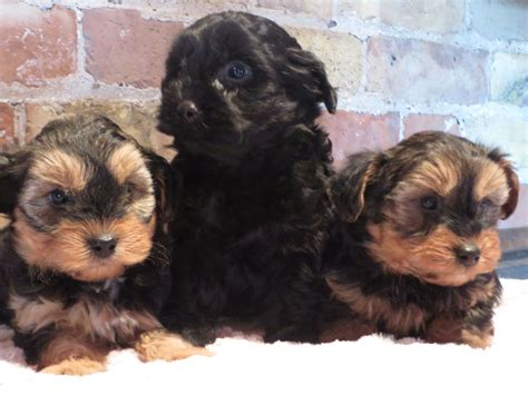 yorkie poo breeders colorado stunning yorkiepoo puppies for sale gloucester gloucestershire pets4homes