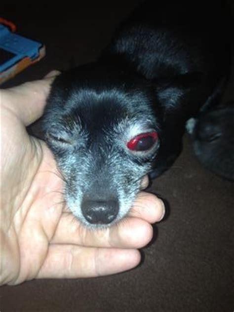 my dogs eye is and swollen white of s eye is blood swollen