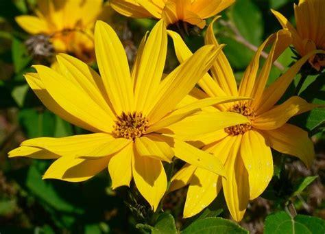 fiore topinambur fiore di topinambur fare di una mosca