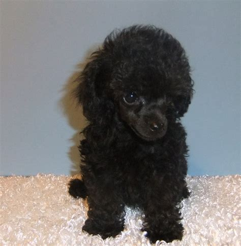 teacup poodle puppies black teacup poodle puppies www pixshark images galleries with a bite