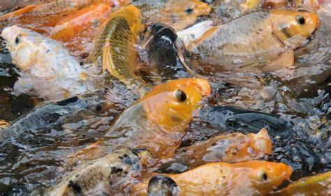 bahan untuk membuat umpan ikan mas umpan mancing ikan mas cuaca mendung yang ampuh sekali