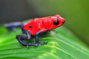 aposematic coloration poison dart frog facts 171 24 hours of culture