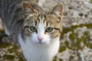 american wirehair cat breeders american wirehair cat breed information pictures characteristics facts american wirehair