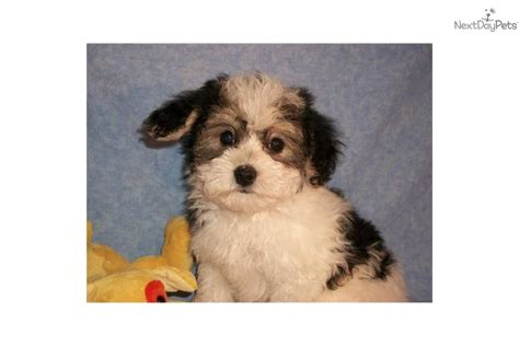 yorkie poo names yorkiepoo yorkie poo for sale for 500 near zanesville cambridge ohio 087c156f e411