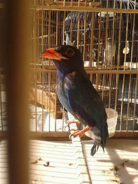 Burung Tengkek Buto suara tengkek buto durasi panjang untuk masteran