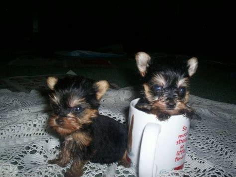yorkie tiny tiny teacup yorkie puppies my style