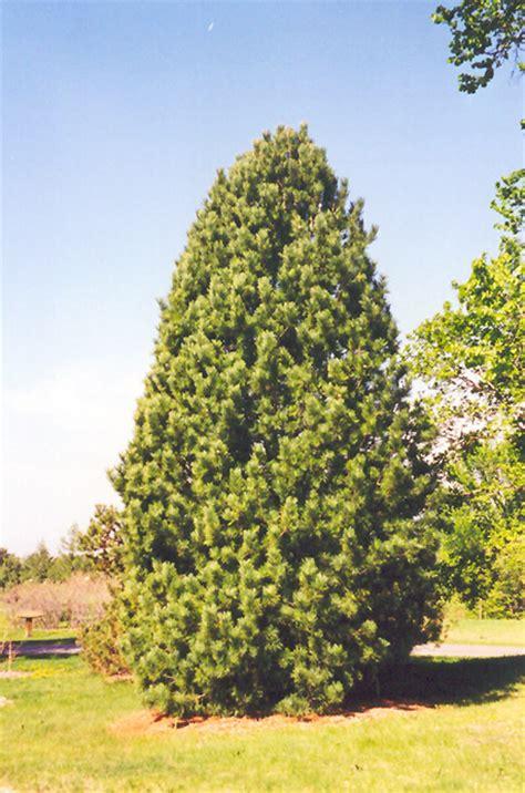 Millcreek Nursery Ltd by Swiss Stone Pine Pinus Cembra In Edmonton St Albert