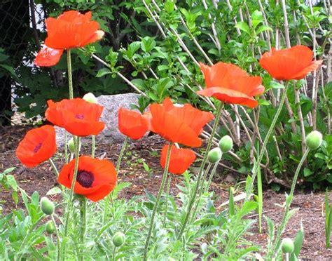 google images poppies google image result for http gardenblog projo com