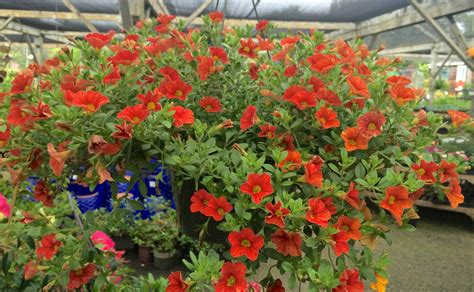 Sloat Garden by Blooming Hanging Baskets Are In Our Stores Sloat Garden